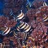 Pennant Bannerfish (Heniochus chrysostomus), Maiuru, Fakarava, French Polynesia