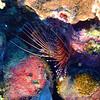 "<a target=""NEWWIN"" href=""http://en.wikipedia.org/wiki/Lionfish"">Spotfin Lionfish (Pterois antennata)</a>, Maiuru, Fakarava, French Polynesia"