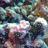 "<a target=""NEWWIN"" href=""http://en.wikipedia.org/wiki/Nudibranch"">Five nudibranchs</a>, Maiuru, Fakarava, French Polynesia"