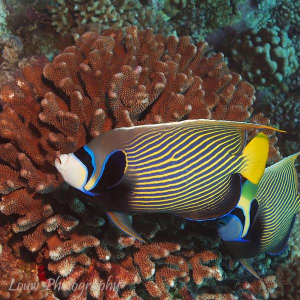 "<a target=""NEWWIN"" href=""http://en.wikipedia.org/wiki/Pomacanthus_imperator"">Emperor Angelfish (Pomacanthus imperator)</a>, Maiuru, Fakarava, French Polynesia"
