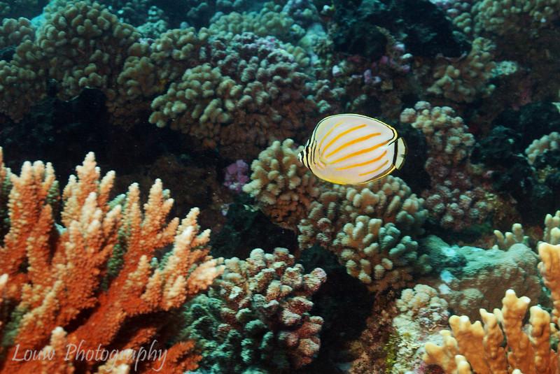 "<a target=""NEWWIN"" href=""http://en.wikipedia.org/wiki/Ornate_butterflyfish"">Ornate butterflyfish (Chaetodon ornatissimus)</a>, Ohotu, Fakarava, French Polynesia"
