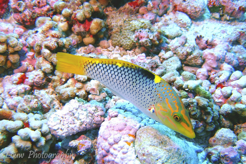 "<a target=""NEWWIN"" href=""http://en.wikipedia.org/wiki/Checkerboard_wrasse"">Checkerboard Wrasse (Halichoeres hortulanus)</a>, Garuae Pass, Fakarava, French Polynesia"