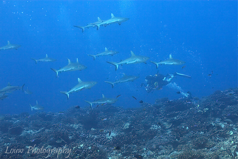 "Large school of <a target=""NEWWIN"" href=""http://en.wikipedia.org/wiki/Grey_reef_shark"">gray reef sharks (Carcharhinus amblyrhynchos)</a>, Garuae Pass, Fakarava, French Polynesia"
