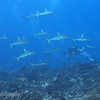 "Large school of <a target=""NEWWIN"" href=""http://en.wikipedia.org/wiki/Grey_reef_shark"">gray reef sharks (Carcharhinus amblyrhynchos)</a>, Garuae Pass, Fakarava, French Polynesia"