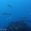 "School of <a target=""NEWWIN"" href=""http://en.wikipedia.org/wiki/Grey_reef_shark"">gray reef sharks (Carcharhinus amblyrhynchos)</a>, Garuae Pass, Fakarava, French Polynesia"
