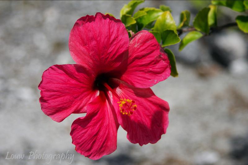 Hibiscus, Fakarava, French Polynesia