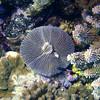 "<a target=""NEWWIN"" href=""http://en.wikipedia.org/wiki/Fungiidae"">Mushroom Coral (Fungiidae)</a>, La Travasière, Manihi, French Polynesia"