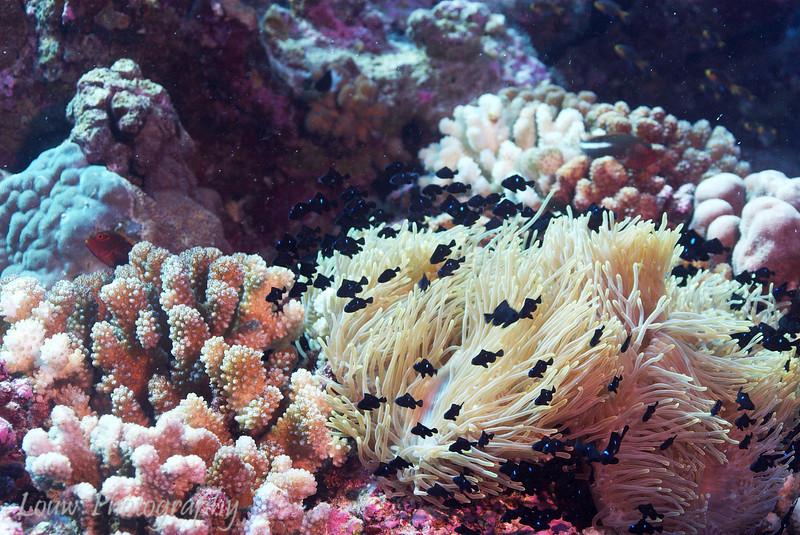 """Juvenile <a target=""""NEWWIN"""" href=""""http://en.wikipedia.org/wiki/Threespot_dascyllus"""">Three-spot Dascyllus (Dascyllus trimaculatus)</a>, La Faille, Manihi, French Polynesia"""