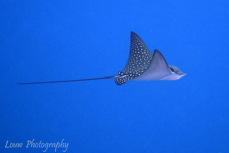"<a target=""NEWWIN"" href=""http://en.wikipedia.org/wiki/Spotted_eagle_ray"">Spotted Eagle Ray (Aetobatis narinari)</a>, Le Tombant, Manihi, French Polynesia"