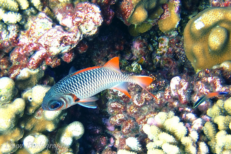 Violet soldierfish (Myripristis violacea), Le Tombant, Manihi, French Polynesia
