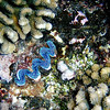 "<a target=""NEWWIN"" href=""http://en.wikipedia.org/wiki/Giant_clam"">Giant Clam (Tridacna gigas)</a>, Le Tombant, Manihi, French Polynesia"