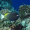 Whitecheek Surgeonfish (Acanthurus nigricans), La Travasière, Manihi, French Polynesia