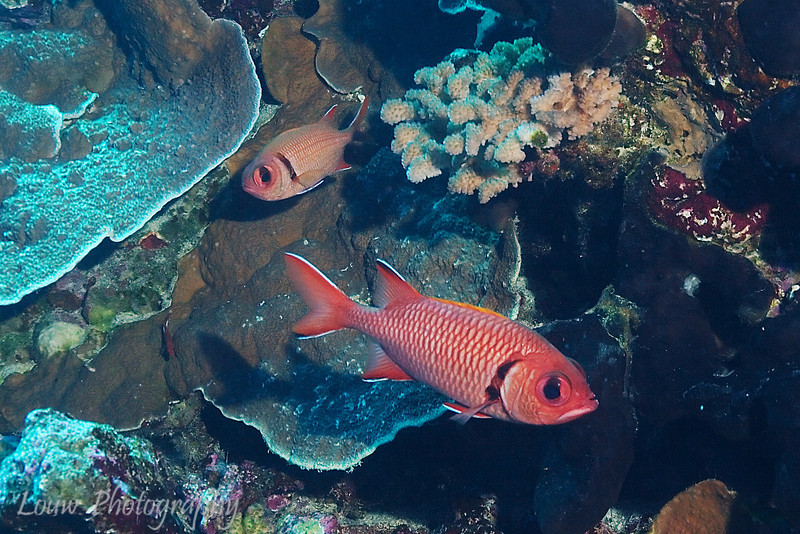 Big-scale soldierfish (Myripristis berndti), Le Tombant, Manihi, French Polynesia