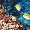 Dot & Dash Butterflyfish (Chaetodon pelewensis), La Travasière, Manihi, French Polynesia