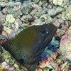 "<a target=""NEWWIN"" href=""http://en.wikipedia.org/wiki/Giant_moray"">Giant Moray (Gymnothorax javanicus)</a>, Le Cirque, Manihi, French Polynesia"
