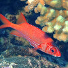 Tahitian Squirrelfish (Sargocentron tiere), Le Tombant, Manihi, French Polynesia