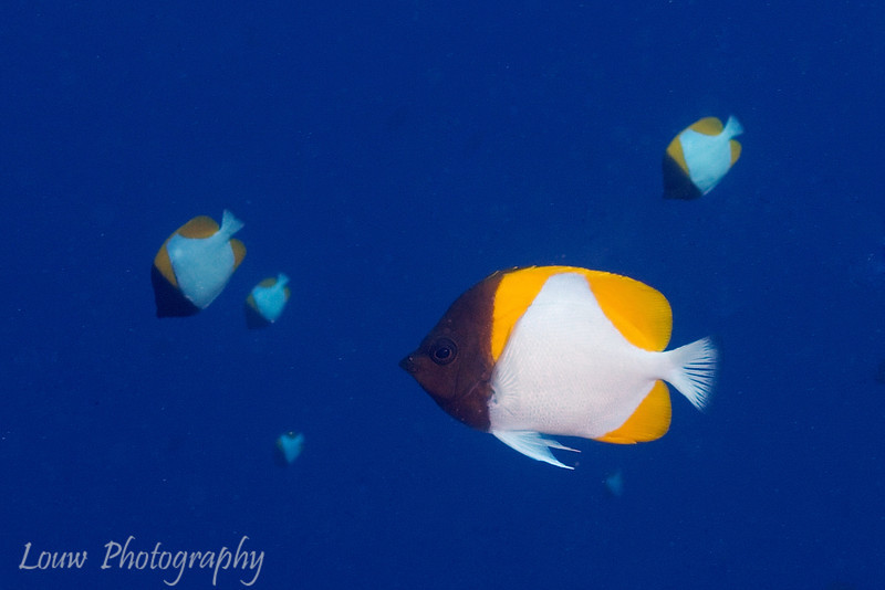 "<a target=""NEWWIN"" href=""http://en.wikipedia.org/wiki/Pyramid_butterflyfish"">Pyramid butterflyfish (Hemataurichthys polylepis)</a>, La Faille, Manihi, Manihi, French Polynesia"