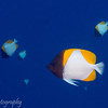 "<a target=""NEWWIN"" href=""http://en.wikipedia.org/wiki/Pyramid_butterflyfish"">Pyramid butterflyfish (Hemataurichthys polylepis)</a>, La Faille, Manihi, Manihi, French Polynesia"