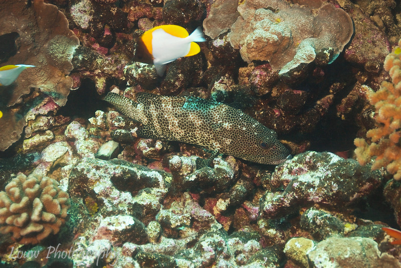 "<a target=""NEWWIN"" href=""http://en.wikipedia.org/wiki/Greasy_grouper"">Greasy Grouper (Epinephelus tauvina)</a>, Le Tombant, Manihi, French Polynesia"