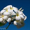 Plumeria, Manihi, French Polynesia