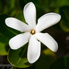 Tiare - the national flower of French Polynesia, 6 petal variety