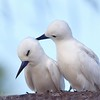 A pair of courting white terns (Gygis alba), Manihi, French Polynesia