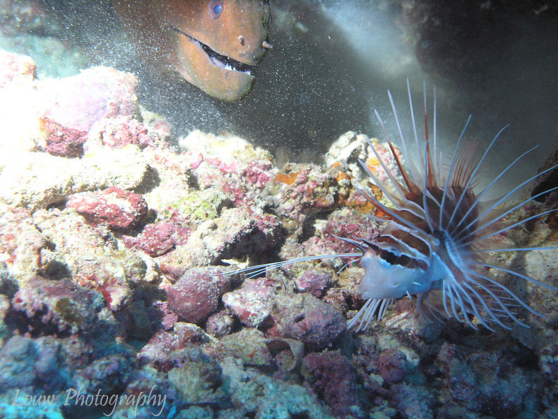 Moray approaches an escaping lionfish, Taotoi, Moorea, French Polynesia