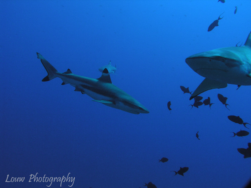 Black-tip Reef Sharks, Papetoai, Moorea, French Polynesia
