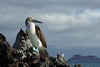 Blue-footed Booby - 2