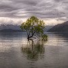 That Wanaka Tree Panoramic