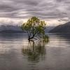 That Wanaka Tree Panoramic