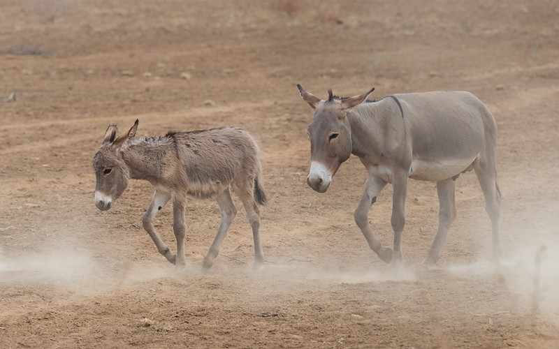 Maasai donkeys