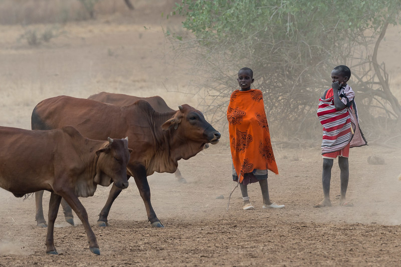 Maasai boys and cattle