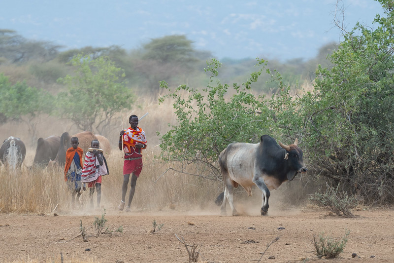 Maasai and cattle