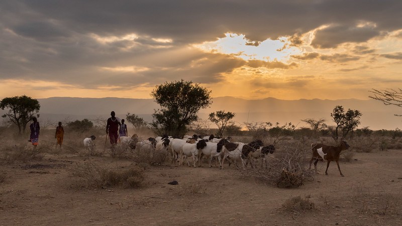 Maasai bringing in their goats