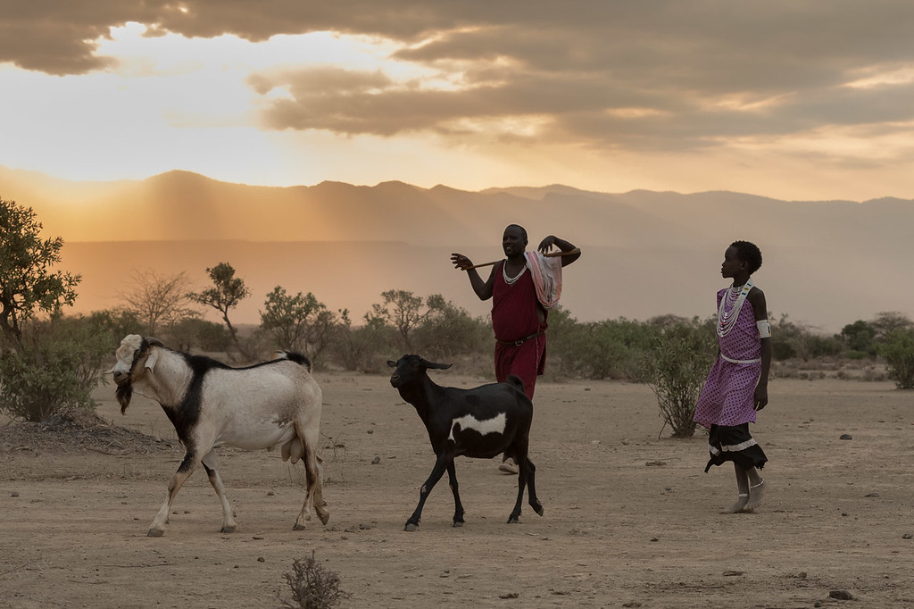 Maasai bringing in their goats