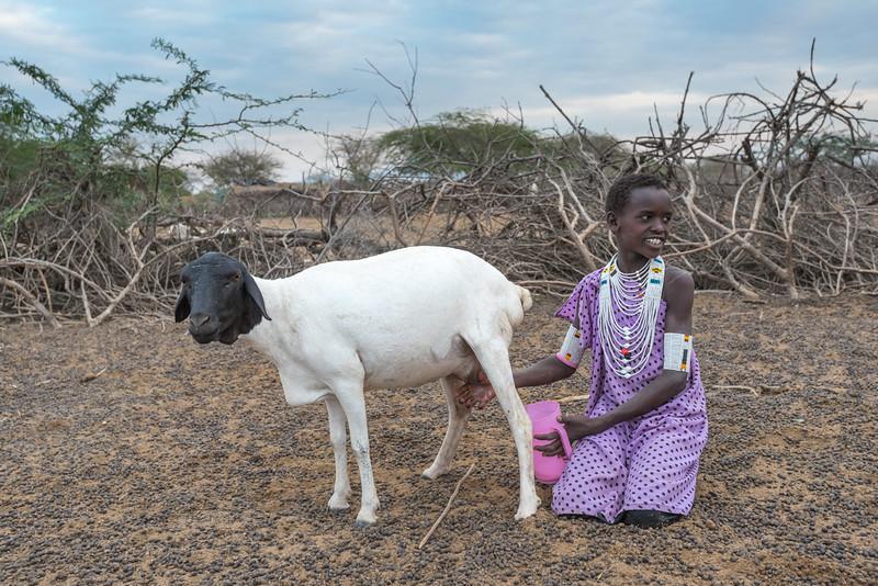 Maasai woman milking goat