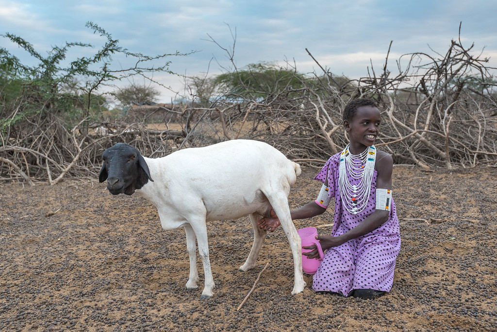 Maasai woman milking goat