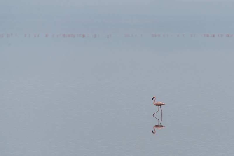 Flamingo on Lake Natron