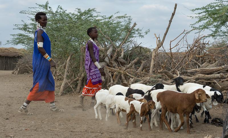 Bringing in the goat herd