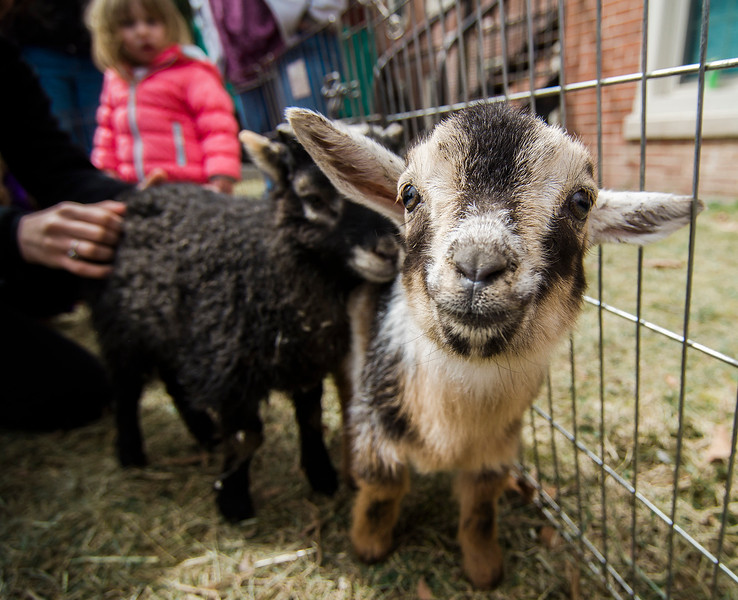 Baby animals from 'Animal Craze' out of Winchendon, hang out at the petting farm during South Street Elementary School's annual science fair in Fitchburg on Saturday, April 8, 2017. SENTINEL & ENTERPRISE / Ashley Green