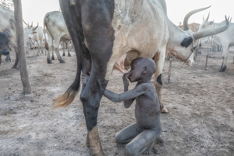 The cow and the boy