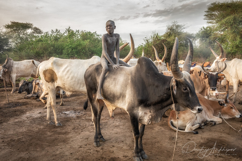 The boy on the cow