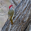 Male Nubian woodpecker