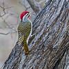 Male Nubian woodpecker