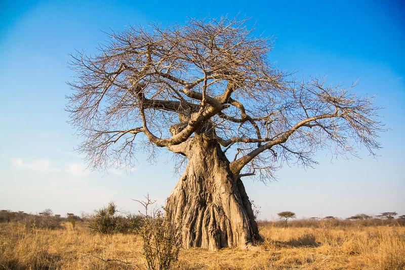 Baobab in Ruaha