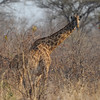 Masai giraffe, our tallest land mammal