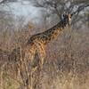 Masai giraffe, our tallest land mammal