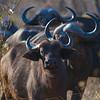 First encounters, curious buffalo