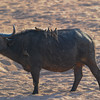 African buffalo with yellow-billed oxpeckers